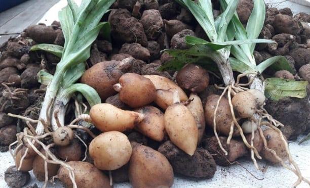 قیمت پودر ثعلب